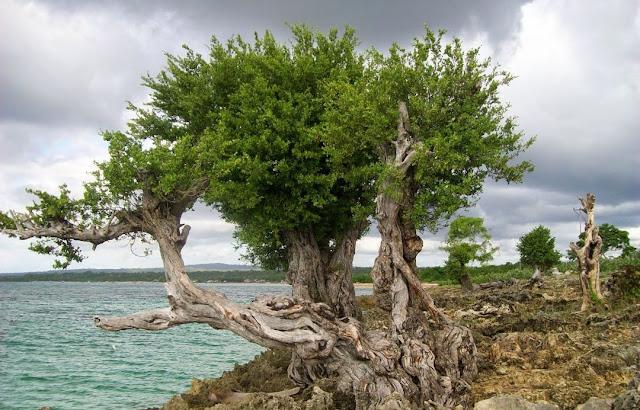Ciri Ciri Pohon Stigi