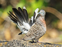 Zebra Dove displaying – Kauai, HI – Feb. 2012 – photo by Dick Daniels