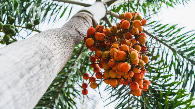 Tanaman Penghancur Santet Pohon Pinang
