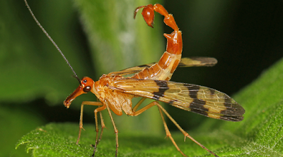 Male Scorpionfly