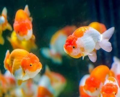 Ikan Koki dapat hidup tanpa aerator
