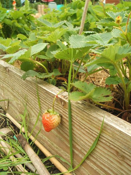strawberries ripening in a raised bed