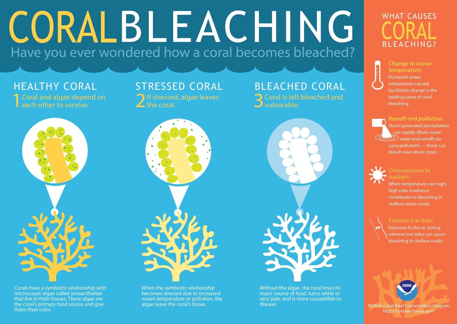 Coral bleaching is caused purely by warmer waters