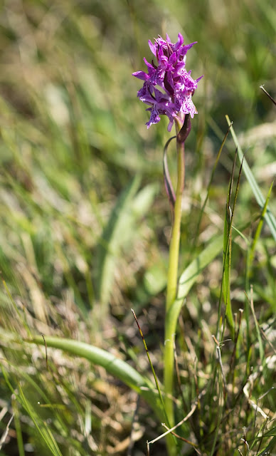 Pugsley's Marsh Orchid - Anglesey