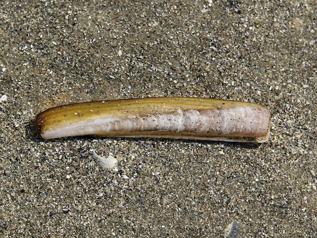jacknife clam