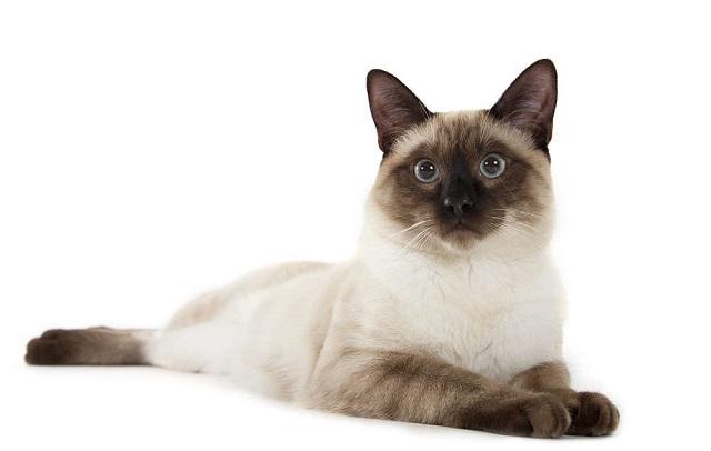 Kucing siam (Siamese)