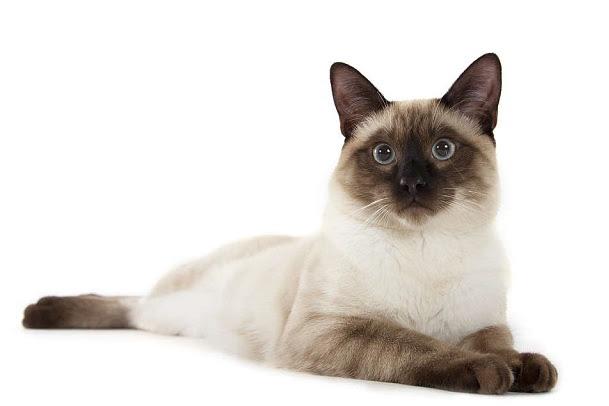 Harga Kucing Siam Terbaru