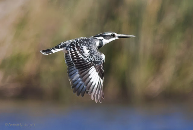 Pied Kingfisher: Canon EOS 6D / 400mm Lens ISO 1250 /f6.3 1/4000s - Woodbridge Island, Cape Town