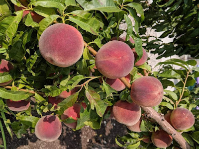 Everybody Loves Home Grown Peaches