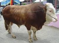 Klasifikasi dan morfologi sapi limousin
