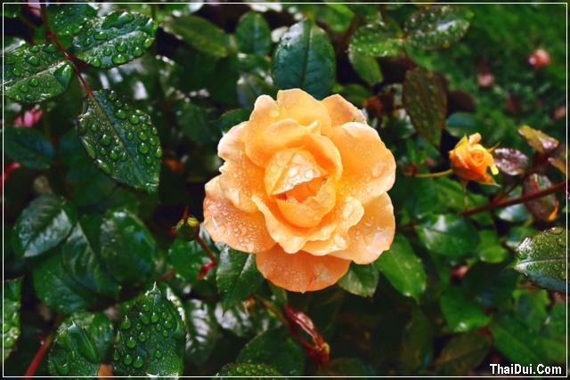Mưa tháng 7 trên cánh hoa hồng vàng