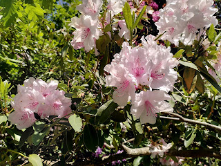 Pale Pink Rhododendren photo by Jim Fernbank