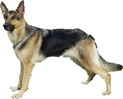 Kemampuan Anjing Pengawasan Lebih Unggul Memperingati Majikan dan Orang Asing