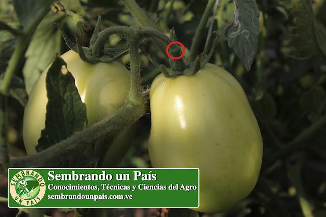 punto de corte del tomate