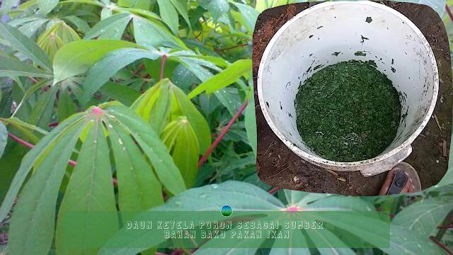 Daun Ketela Pohon Sebagai Sumber Bahan Baku Pakan Ikan