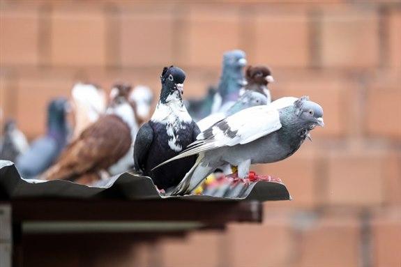 Güvercin G Hayvan İsimleri