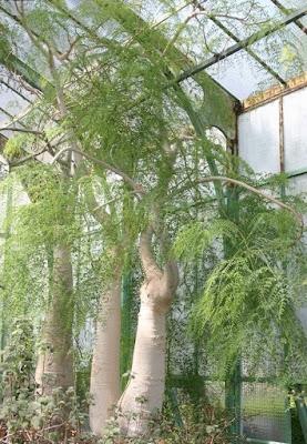 Moringa-Baobab-Kelor-Afrika