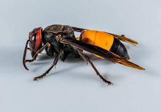 Lebah dan tawon adalah serangga berbahaya yang dapat menimbulkan penyakit mematikan