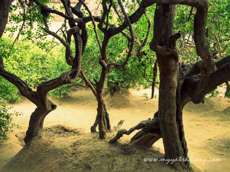 The dance of the trees in the forest of Vrindavan