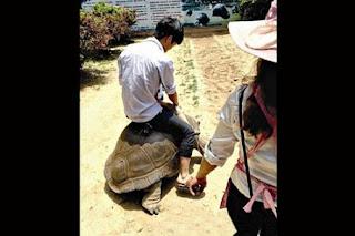 Karena Membolehkan Pengunjung Naik Kura-kura, Penjaga Taman Safari Dipecat
