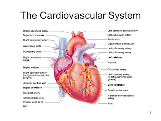 cardiovascular diseases due to obesity