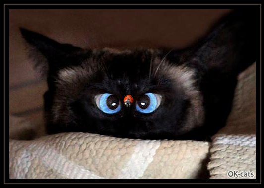 Photoshopped Cat picture • Funny Siamese cat goes cross-eyed watching a big lady bug on his face haha