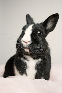 An alert black and white rabbit indoors standing up