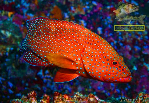تعرف على سمك الناجل وأنواعه وفوائده وطرق صيده | أسماك الطرادي والشريفي و أبو عدس