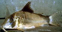 Jenis Ikan Corydoras simulatus