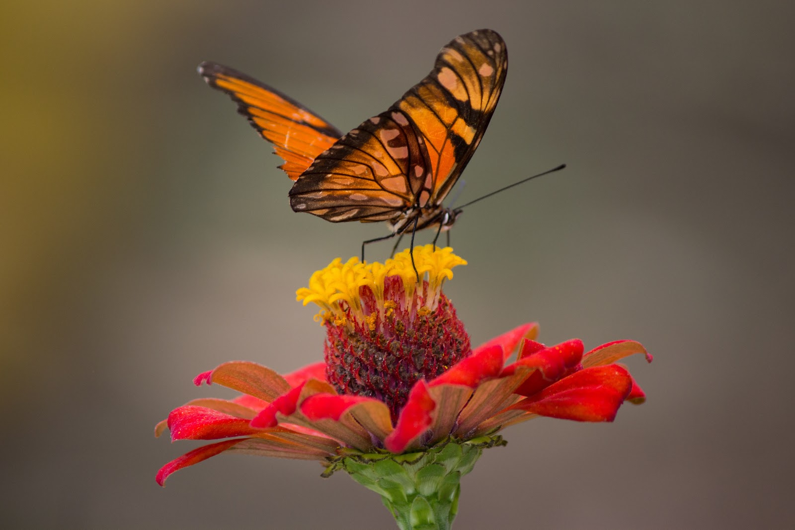 brown-and-black-butterfly-perched-on-yellow-and-red-petaled-butterfly-images