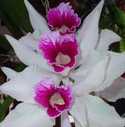 O número de espécies de orquídeas é próximo a vinte cinco mil, correspondendo a cerca de 8% de todas as plantas com sementes. A quantidade de espécies aceitas é quatro vezes maior que a soma do número de mamíferos e o dobro das espécies de aves. Esses imponentes números desconsideram a enorme quantidade de híbridos e variedades produzidos por orquidicultores todos os anos. Além disso, anualmente centenas de espécies novas são descritas.