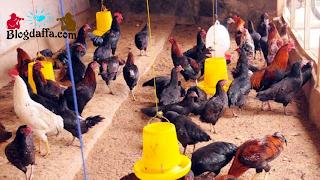 Cara Budidaya Ayam Kampung di Rumah