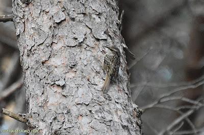 Raspinell comú (Certhia brachydactyla)