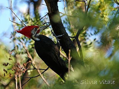 Black bodied Woodpecker