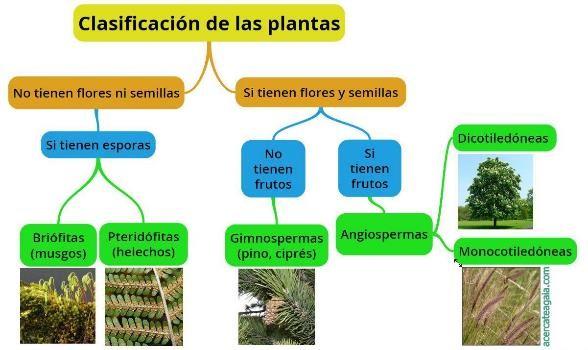 Clasificación de las plantas según sus características botánicas