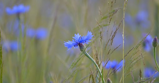 Short story | Blue Cornflowers