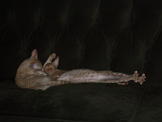 Red Tabby Cornish Rex