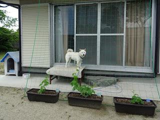 今年も植えたゴーヤのグリーンカーテン