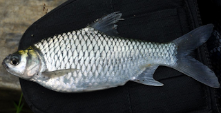 tergolong dalam marga Cyprinidae menyerupai ikan mas dan nila Kabar Terbaru- MORFOLOGI DAN KLASIFIKASI IKAN TAWES