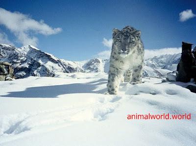 نمر الثلوج