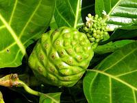 gambar buah mengkudu, buah pace