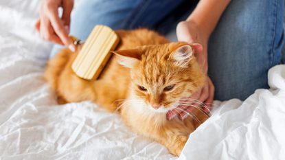 ginger cat being brushed by woman