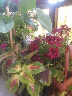 نباتات منها السجاد البهي الأوراق