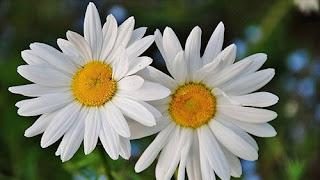 daisy flower bunga persahabatan