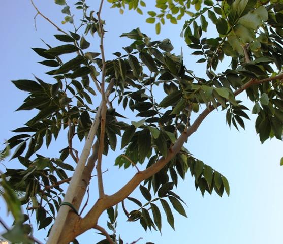 Un jardin bajo los pinos: La Guaba o Frijol de Helado