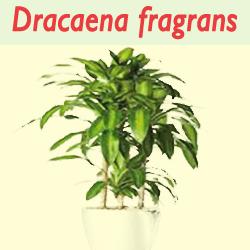 Jenis Tanaman  Dracaena fragrans Untuk Mengurangi Polusi Di dalam ruangan rumah