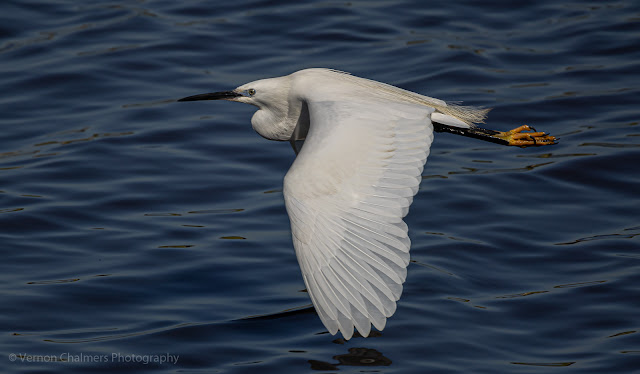 Little Egret with Canon EOS R6 / RF 800mm f/11 IS STM Lens : ISO 640 / 1/2500s