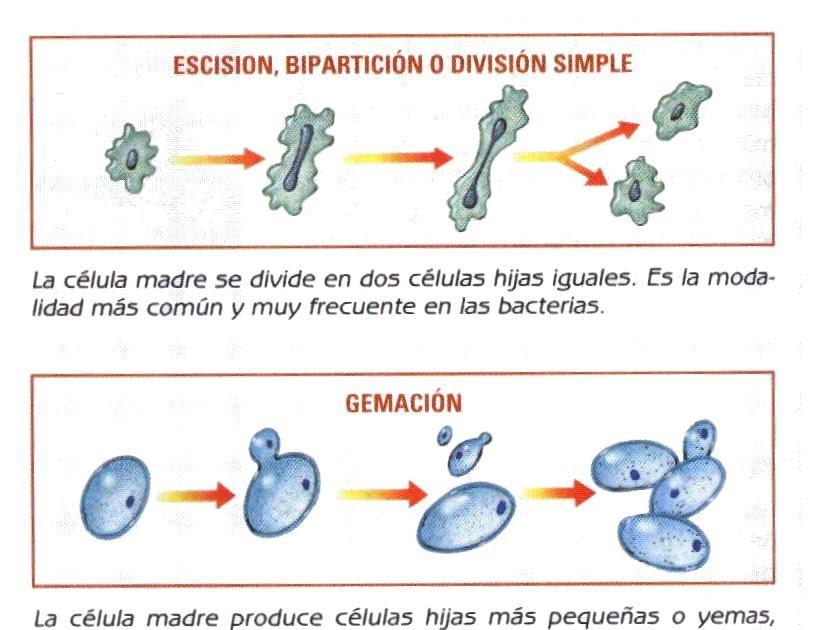 Reproduccion celular asexual biparticion