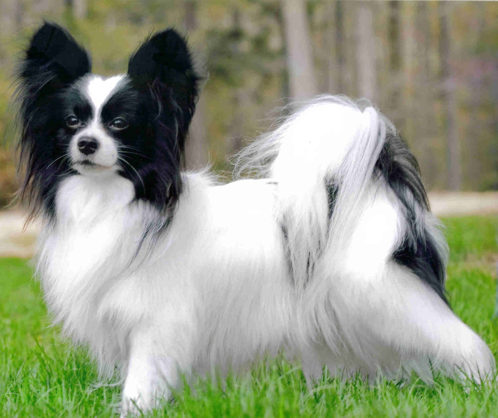 papillion puppies cute pets papillon dog pictures cute pets 3649