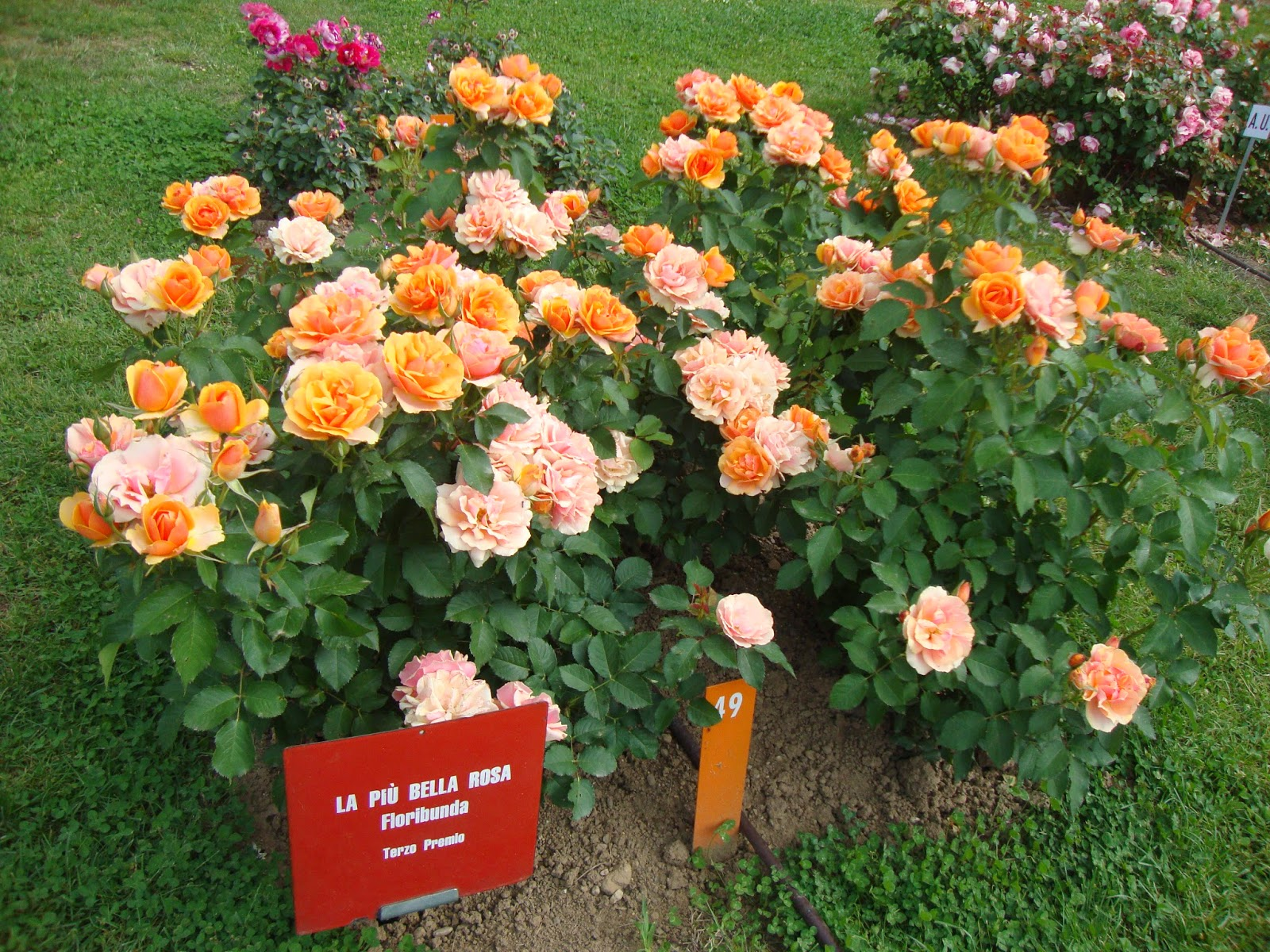 Un piccolo giardino in citt dal roseto di monza le for Rose tappezzanti